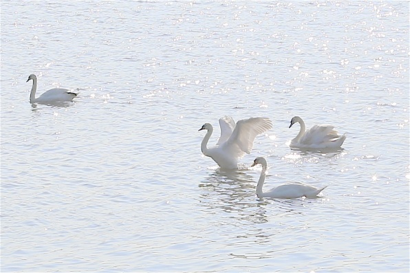 Local swans