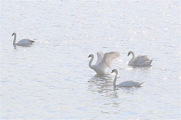 Local swans