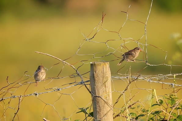 Our little house sparrows