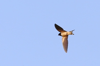 Summer swifts