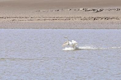 whooper swan Glencaple