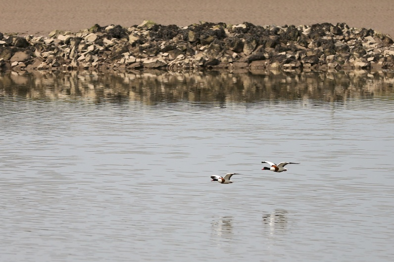 barnacle geese river nith